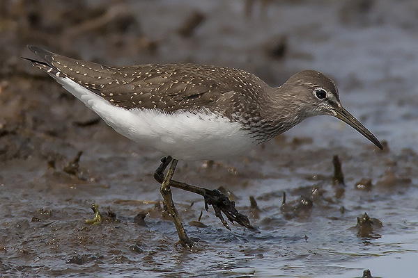 Green Sandpiper by Bryan Thomas©