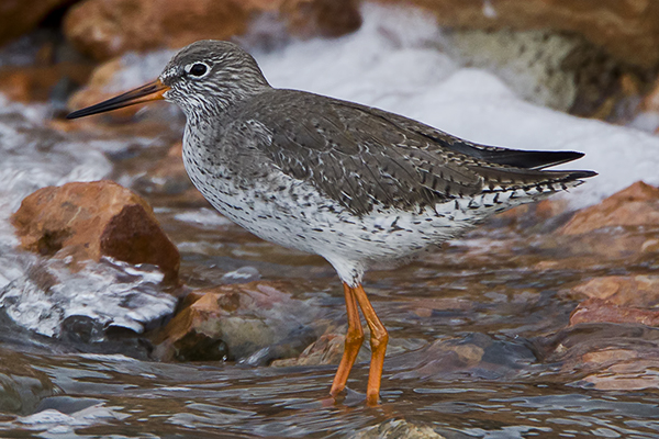 Redshank by Bryan Thomas©
