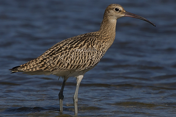 Whimbrel by Bryan Thomas©
