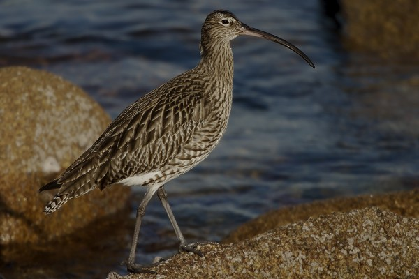 Curlew by Bryan Thomas©