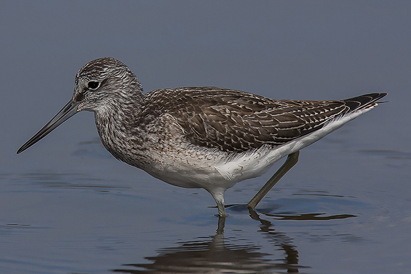 Greenshank by Bryan Thomas©