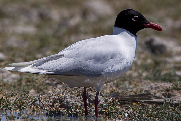 Mediterranean Gull by Bryan Thomas©