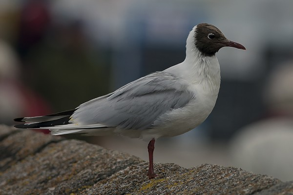 Black headed Gull by Bryan Thomas©