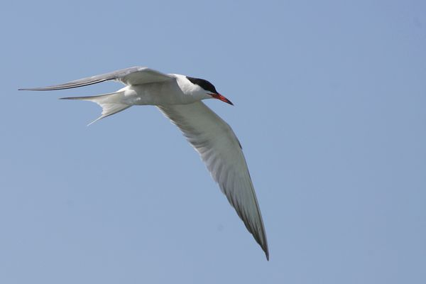 Common Tern by Bryan Thomas©