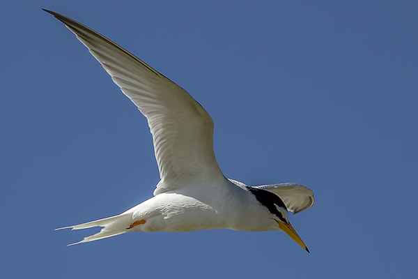Little Tern by Bryan Thomas©