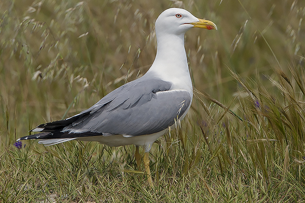 Yellow legged Gull by Bryan Thomas©