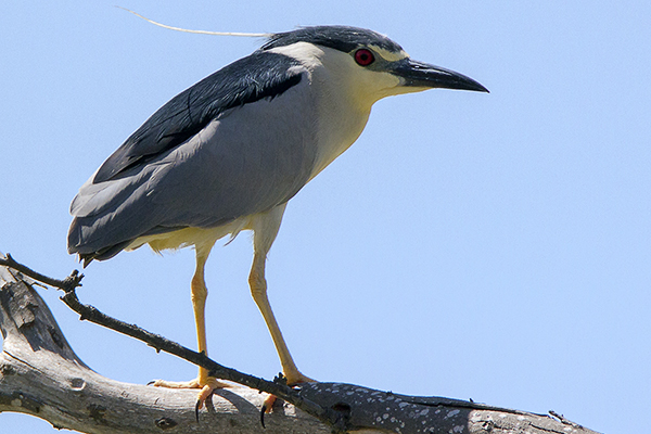 Night Heron by Bryan Thomas©