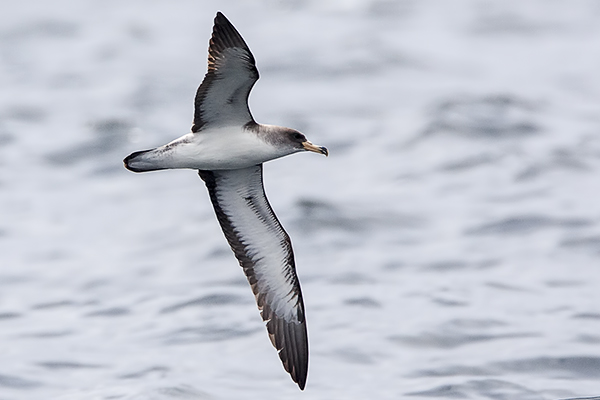 Cory's Shearwater by Bryan Thomas©