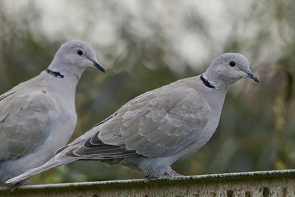 Collared Dove by Bryan Thomas©