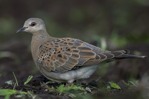 Turtle Dove by Bryan Thomas©