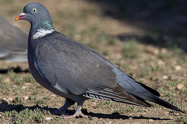 Woodpigeon by Bryan Thomas©