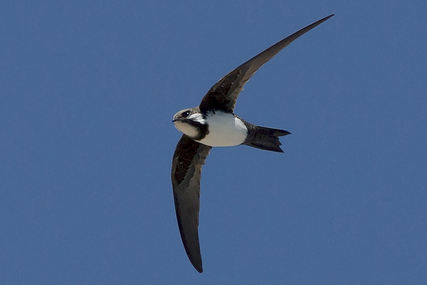 Alpine Swift by Bryan Thomas©