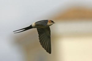 Red rumped Swallow by Bryan Thomas