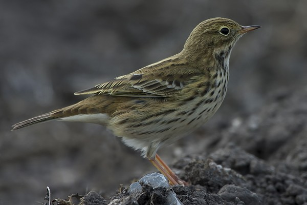Meadow Pipit by Bryan Thomas©