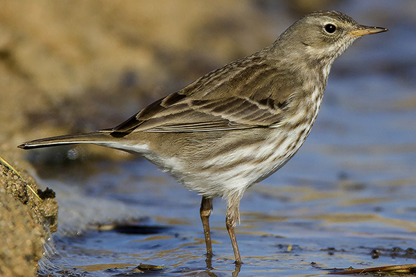 Water Pipit by Bryan Thomas©