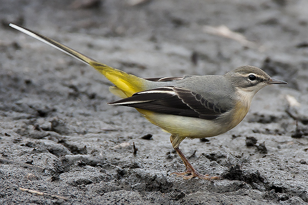 Grey Wagtail by Bryan Thomas©