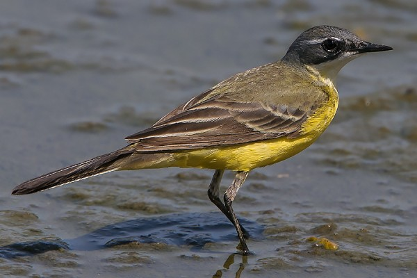Yellow Wagtail by Bryan Thomas©