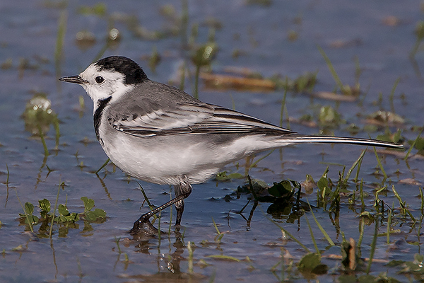 White Wagtail by Bryan Thomas©