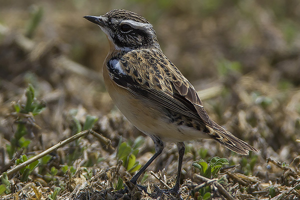 Whinchat by Bryan Thomas©