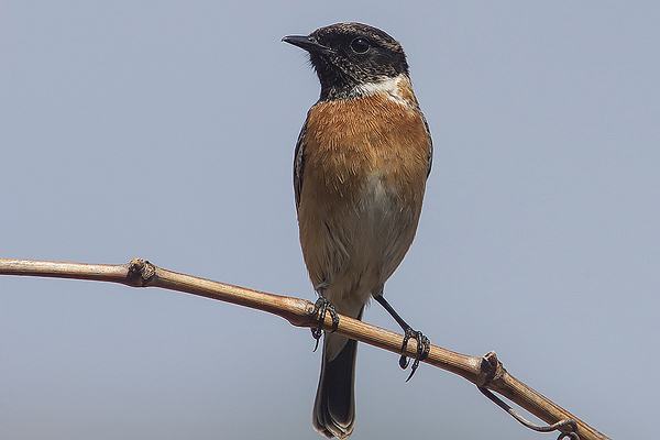 Stonechat (male) by Bryan Thomas©