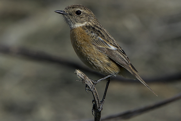 Stonechat (female) by Bryan Thomas©