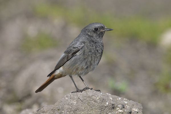 Black Redstart (female) by Bryan Thomas©