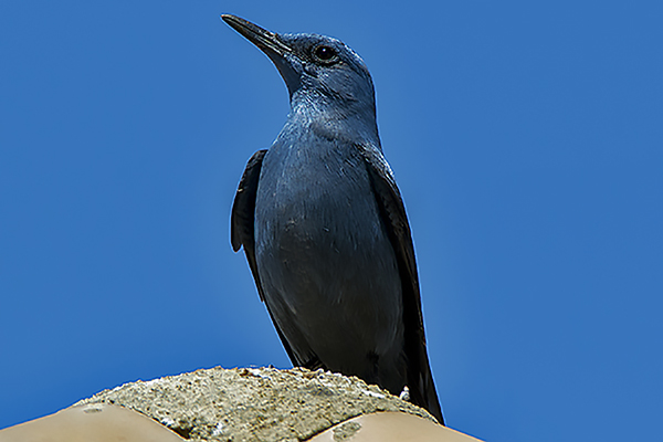 Blue Rock Thrush (male) by Bryan Thomas©