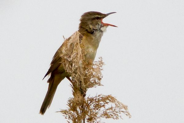 Great Reed Warbler by Bryan Thomas©