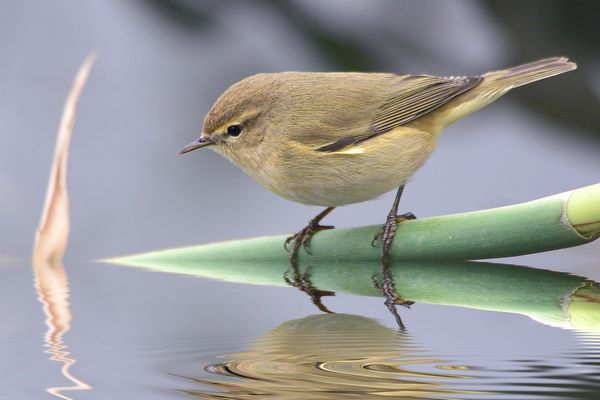 Chiffchaff by Bryan Thomas©
