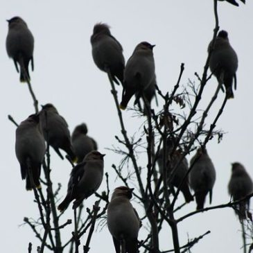 Waxwings at last!!!