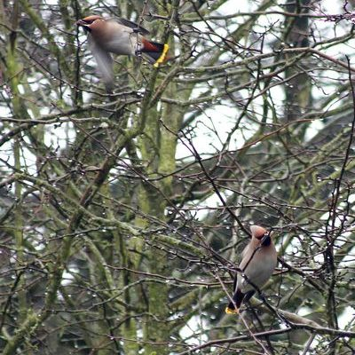 Waxwings by Mary Brazier©
