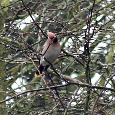 Waxwing by Mary Brazier©