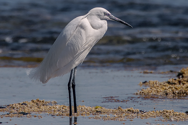 Little Egret by Bryan Thomas©