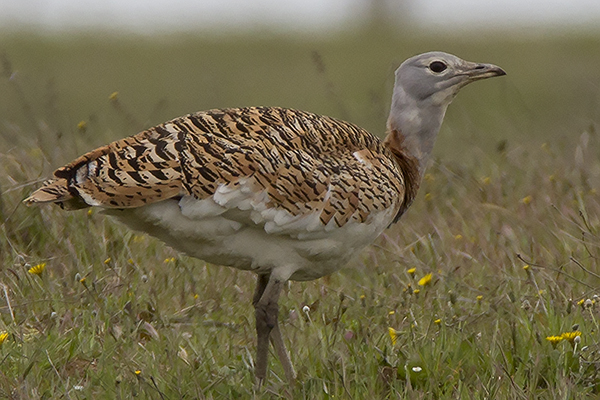Great Bustard by Bryan Thomas©