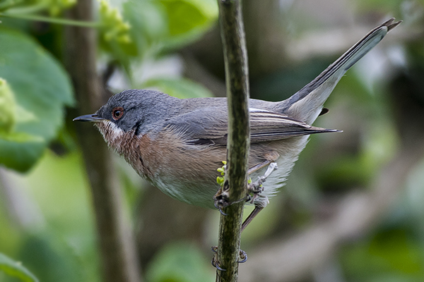 Subalpine Warbler  by Bryan Thomas©