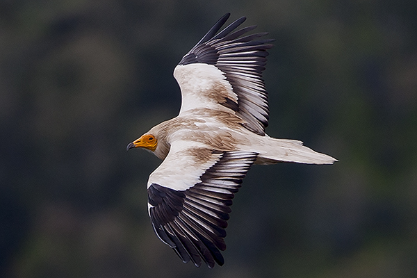 Egyptian Vulture by Bryan Thomas©