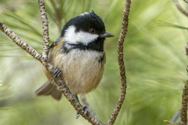 Coal Tit by Bryan Thomas©