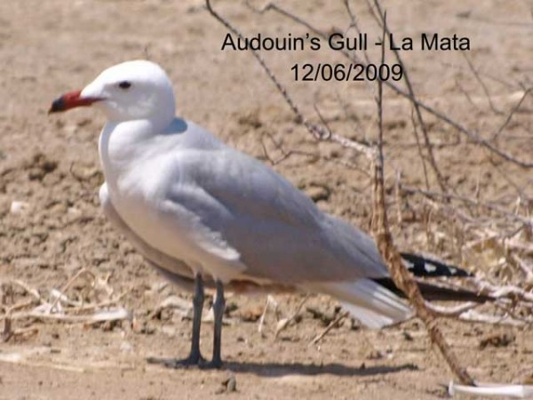 Audouin's Gull by Rod Loveday©