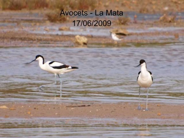 Avocets by Rod Loveday©