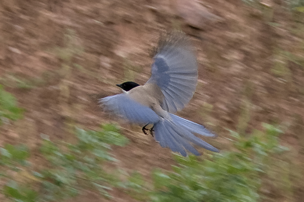 Azure winged Magpie by Bryan Thomas©