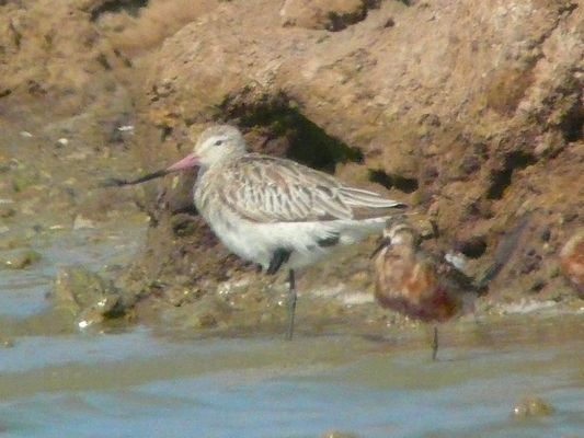 Bar tailed Godwit by Mike Smith©