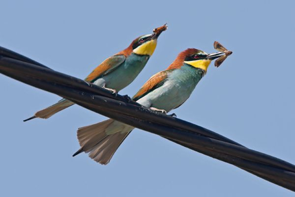 Bee eaters by Bryan Thomas©