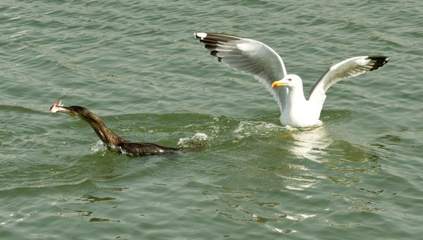 Cormorant and Yellow legged Gull by Brian Kinnock©