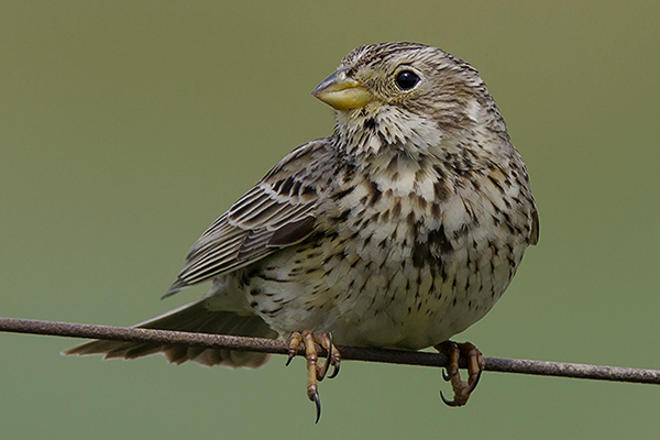 Corn Bunting by Bryan Thomas©