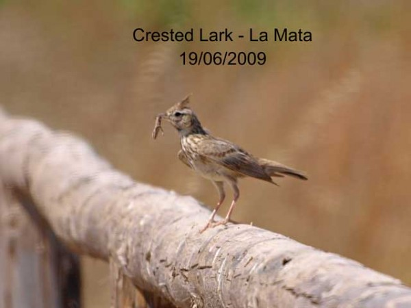 Crested Lark by Rod Loveday©