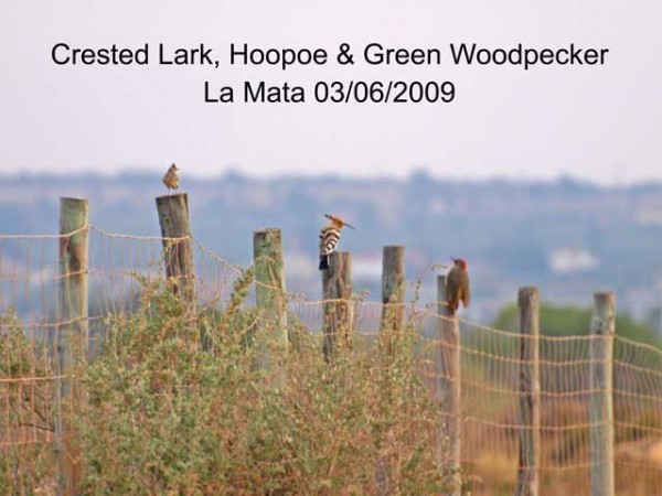 Crested Lark, Hoopoe and Green Woodpecker by Rod Loveday©