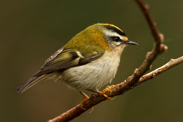 Firecrest by Bryan Thomas©
