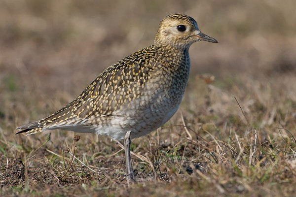 Golden Plover by Bryan Thomas©