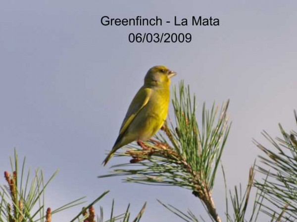 Greenfinch by Rod Loveday©