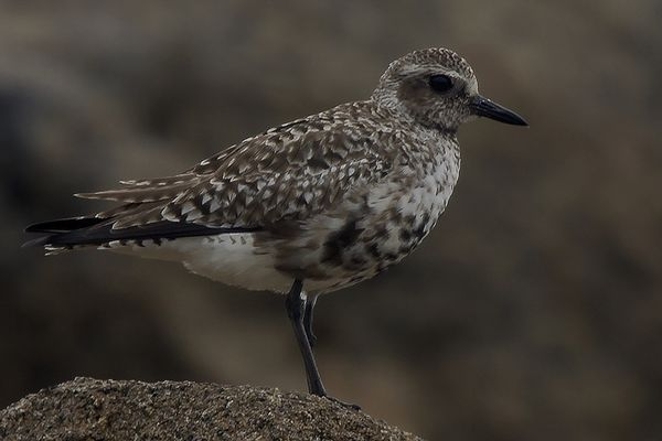 Grey Plover by Bryan Thomas©